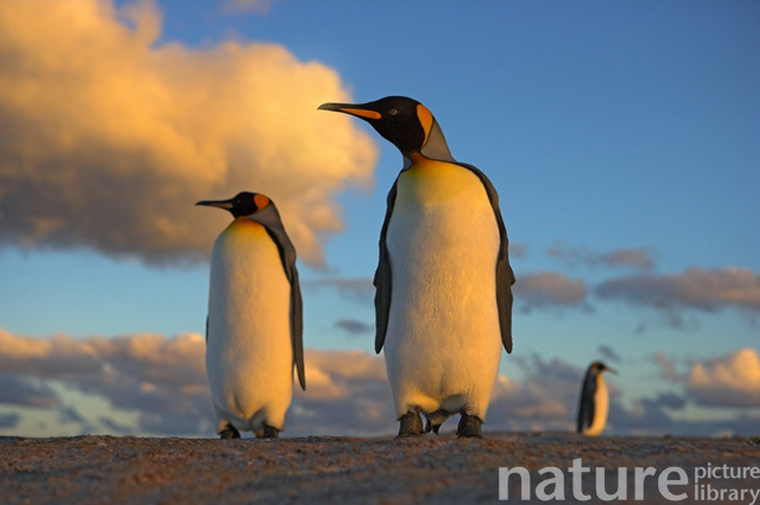 penguins in a sunset